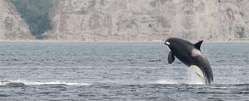 Orca in the Salish Sea